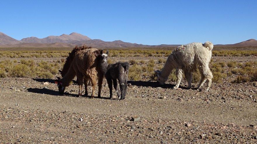 Lamas Anden Argentinien