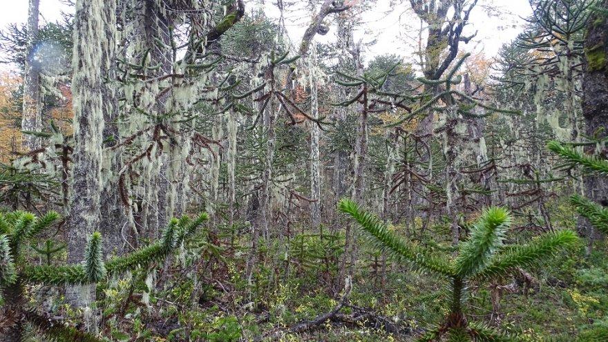 Mischwald mit Araukarien Nationalpark Villarrica chile kleiner süden seenregion vulkan