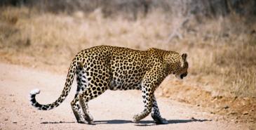 Leopard überquert die Straße