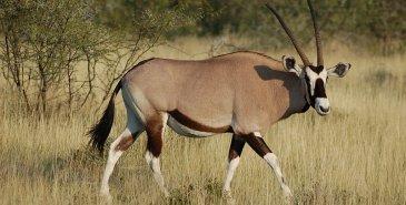 Oryxantilope