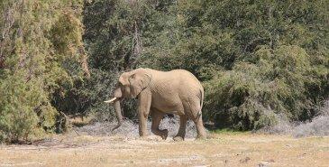 Wüstenelefant im Hoarusib Canyon bei Purros