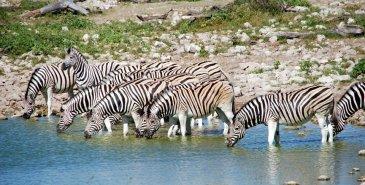 Zebras beim Trinken im Etosha NP